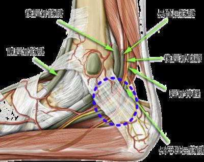 足関節の解剖 画像